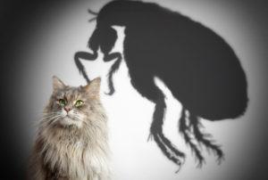 anti-puce pour chat