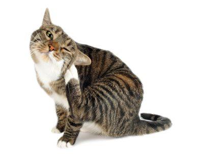 chat avec des puces