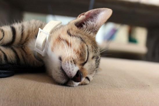 collier antipuce pour chat