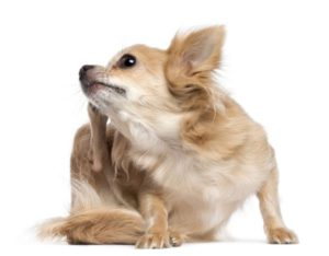 meilleur anti-puce chien