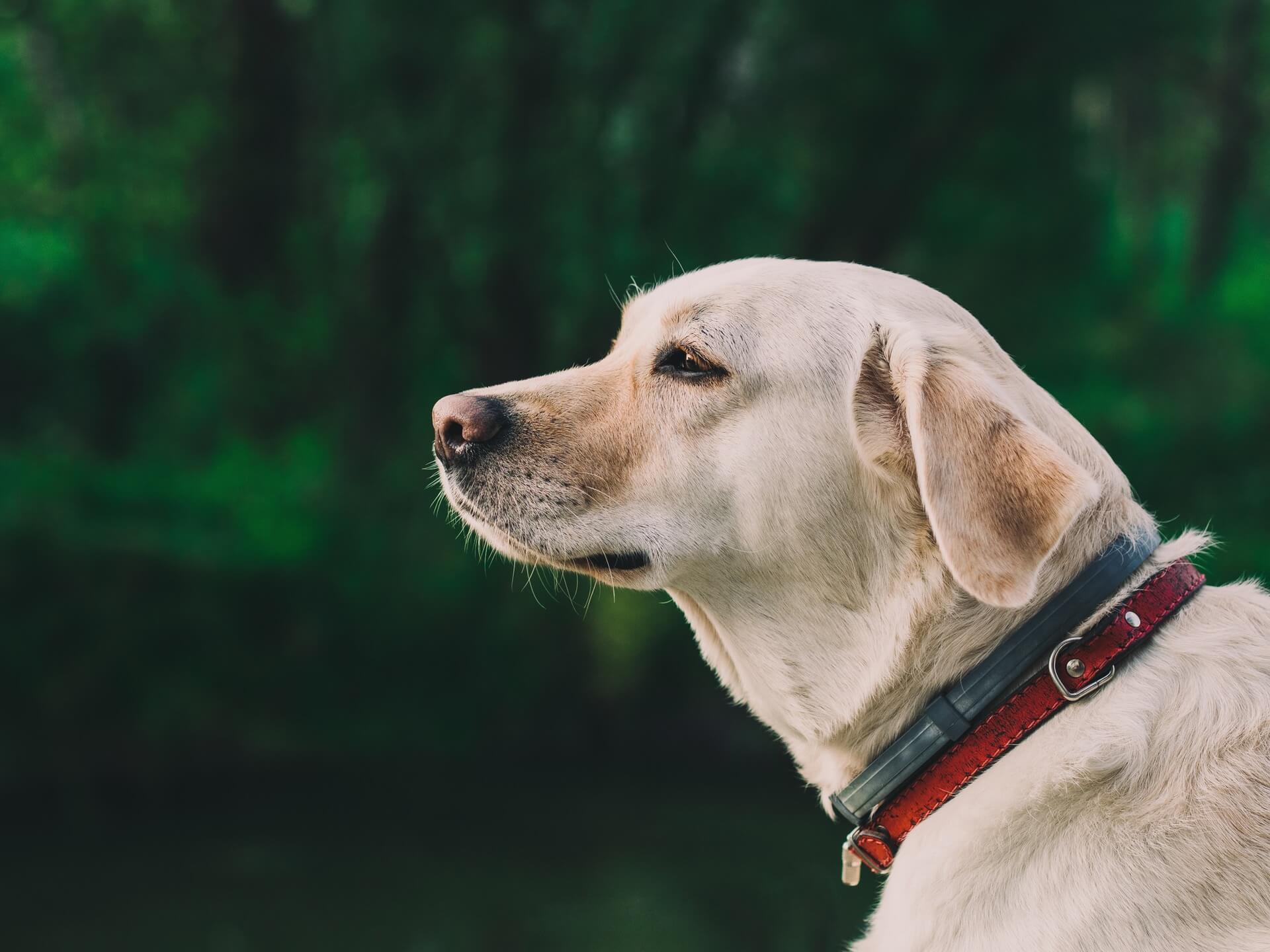collier anti-puce seresto chien